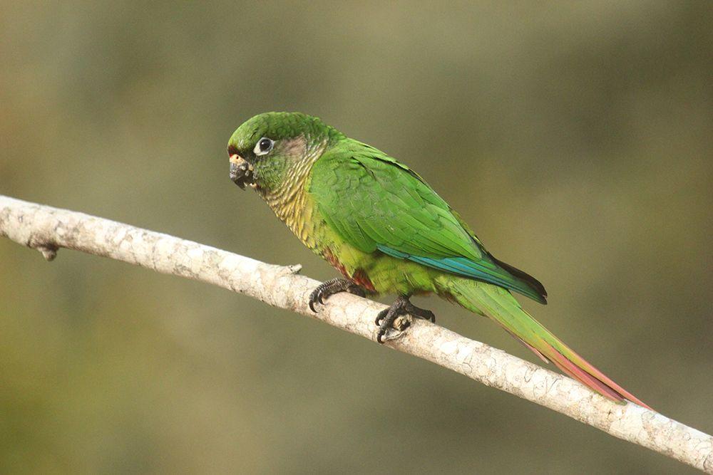 Reddish-bellied Parakeet Itororo Ecolodge